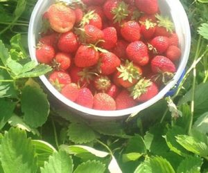 Doug Wright reports a bumper crop of strawberries over Head Tide Hill. (Photo courtesy Doug Wright)