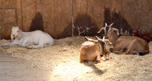 Goats rest inside the barn at High Hopes Farm in Bristol. (Maia Zewert photo)