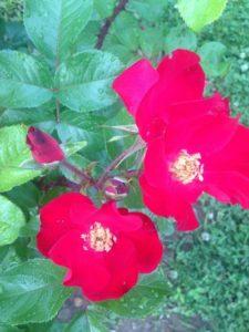 Doug's roses. (Photo courtesy Doug Wright)