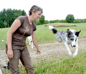 Laurel Banks' border collie, Lil, jumps into the paddock where a flock of about 300 Gotland sheep were grazing on the Shepherds Craft Farm in Whitefield Tuesday, June 28. A Great Pyrenees, which guards the flock, looks on in the background. (Abigail Adams photo)