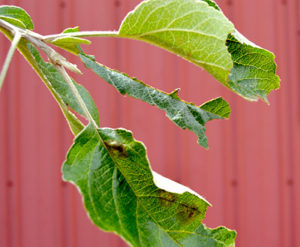 Noticeable defoliation of oak and apple trees is one sign of a possible browntail moth infestation. Though small in size, the caterpillars can cause severe damage to trees during their feeding from early June to when they cocoon in late June. (Haley Bascom photo)