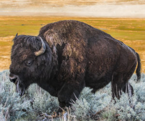 Our National Mammal: The American Bison