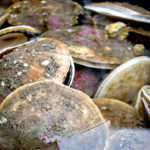 Scallop Population Density Affects Fertilization Success