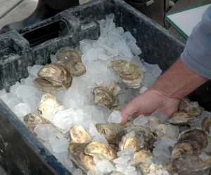 A total of 15,700 oysters were shucked at the Pemaquid Oyster Festival in Damariscotta on Sunday, Sept. 25. (Alexander Violo photo)