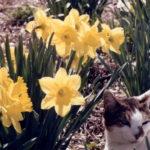 Daffodil Bulb Sale in Waldoboro