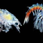 Rising Ocean Temperatures Threaten Baby Lobsters