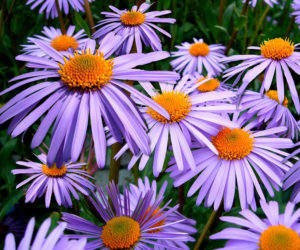 "<span class=""entry-title-primary"">Nature Notes</span> <span class=""entry-subtitle"">New England Aster</span>"