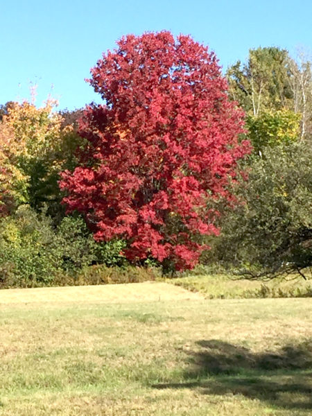 A tree in Whitefield has turned color sooner than its neighbors. (Photo courtesy Doug Wright)