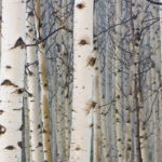 Birch Featured Tree in Garden Club's New 'Sylvan' Series