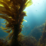 Global Study Finds Local Management Key For Kelp-Forest Health