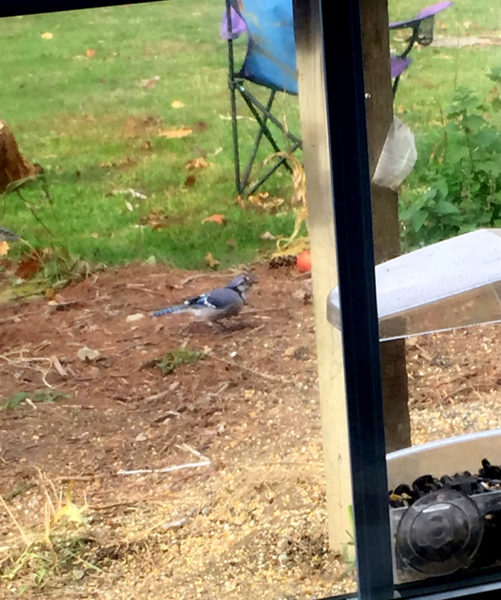 Robin suspects the blue jays of hogging the birdseed. (Photo courtesy Doug Wright)
