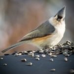 PWA Offers Midwinter Bird-Seed Sale