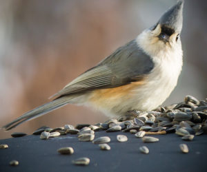 Feed feathered friends, such as the tufted titmouse (pictured), while supporting local conservation: stock up on bird seed from the Pemaquid Watershed Association. (Photo courtesy Michael A. Kane)