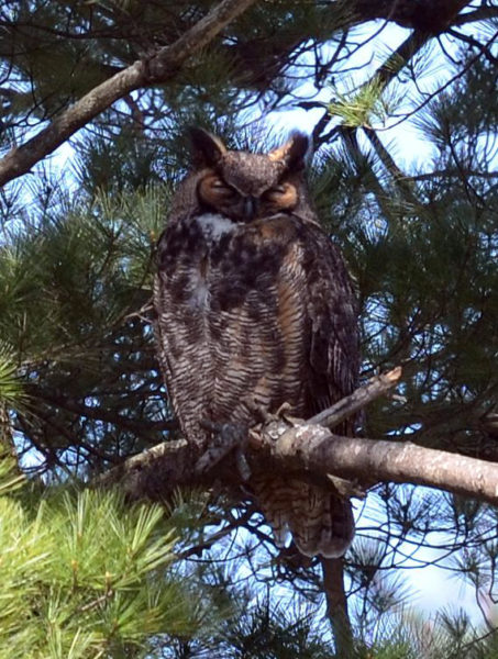 A great horned owl (Photo courtesy Callie Wronker)
