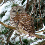 February Full-Moon Owl Prowls