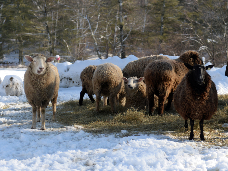 Sheep on the Patriot Ridge Homestead in Jefferson. (Paula Roberts photo)