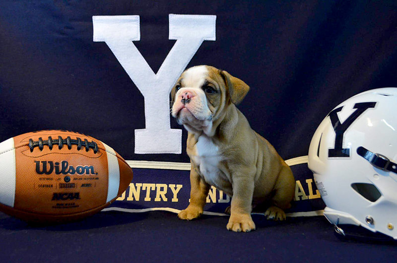 Yale University mascot Handsome Dan XVIII is a product of Wicked Good Bulldogges in Bristol. (Photo courtesy Jessica Seiders)