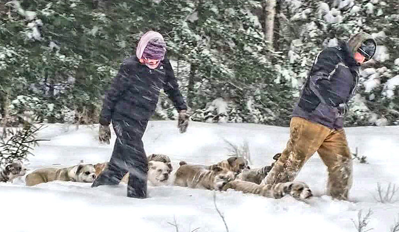 Jessica and Pete Seiders walk some of their olde English bulldogges through the snow at their Bristol home. (Photo courtesy Jessica Seiders)