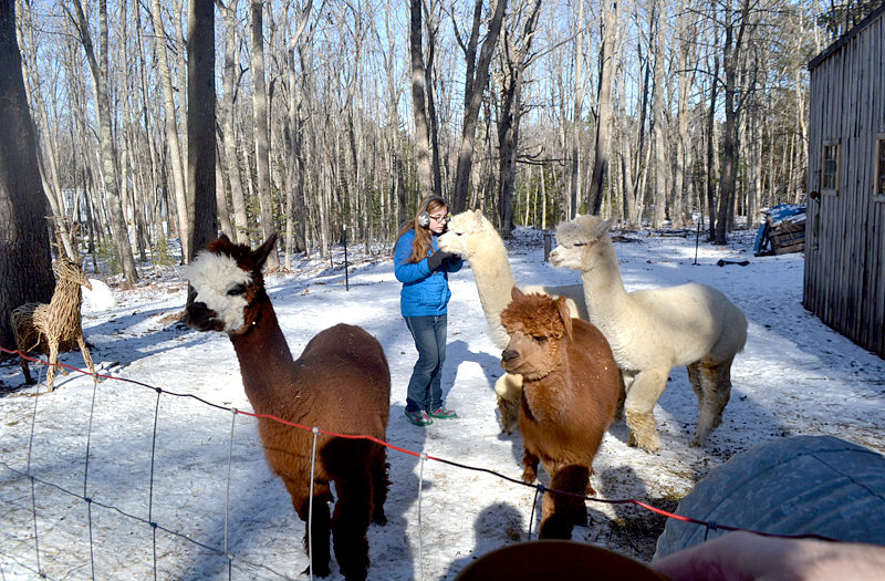 Bella Bodmer visits with alpacas Gussy, Fleecy, Marty, and Will at the Bodmers' Westport Island home. (Charlotte Boynton photo)