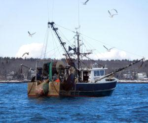 The Ocean Spray, of Back Cove, hauls in a net full of shrimp Thursday, Feb. 2. (Photo courtesy Nancy Hanna)