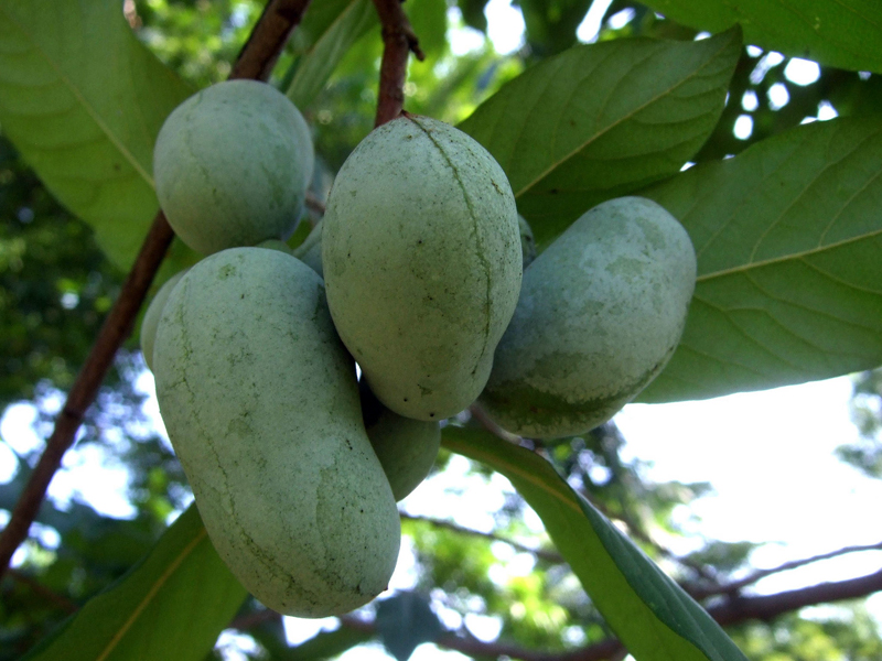 This pawpaw, Asimina triloba, is winter-hardy to Zone 5 and has fruits that ripen in fall and taste somewhat like a banana or cantaloupe custard. (Photo coutesy Wendell Smith)