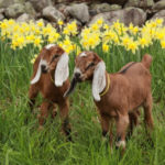 Baby Goats and May Baskets to Open Season at Pumpkin Vine Family Farm