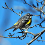 Spring Songbird Workshop at Midcoast Conservancy