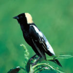 DRA's Nesting Grassland Bird Walk