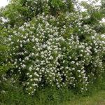 Invasive Plant Walk and Talk at Erickson Fields