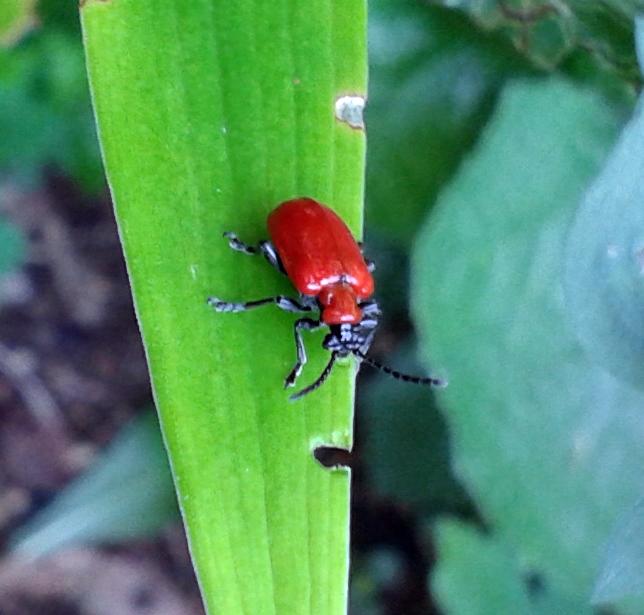 The lily leaf beetle, Lilioceris lilli. (Photo courtesy Mary Throckmorton)