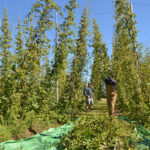 Oxbow Reaps Alna Hops for Annual Harvest Beer