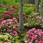 Coastal Maine Botanical Gardens to Offer Rhododendron Workshop