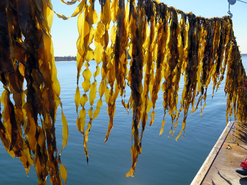 Juvenile sugar kelp hangs near the water on a farm along the Maine coast. (Photo courtesy Brittney Honisch, Bigelow Laboratory for Ocean Sciences)