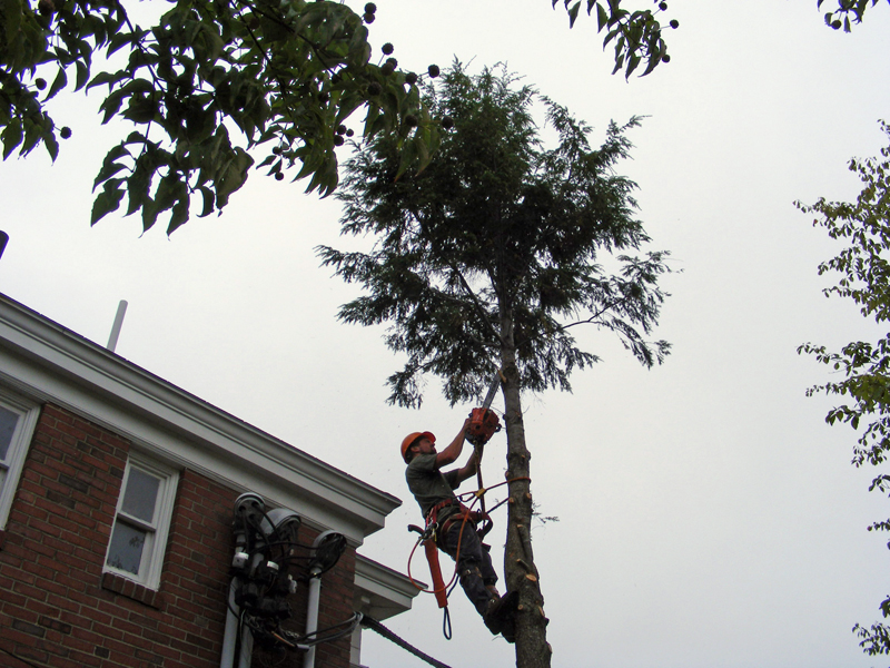 Shannon Mahan of MAC Tree Service works in a tree on the grounds of the Waldo Theatre.