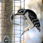 Annual Fall Mid-Coast Audubon Birdseed Sale Fundraiser