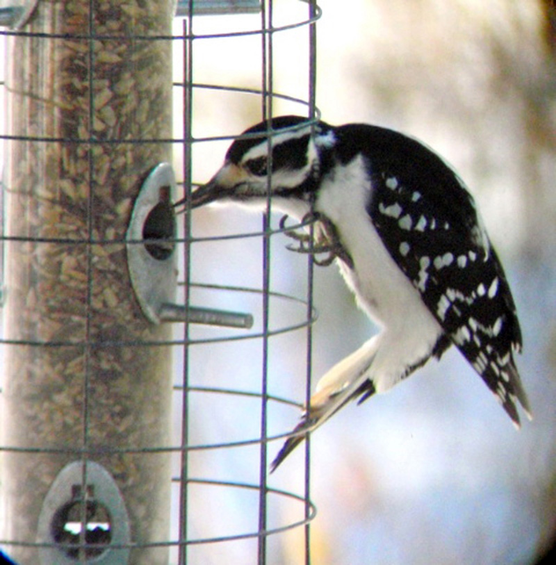 Mid-Coast Audubon is now taking orders, due Nov. 8, for its annual birdseed sale fundraiser. (Photo courtesy John Weinrich)