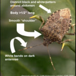 Help Needed Finding Stink Bugs