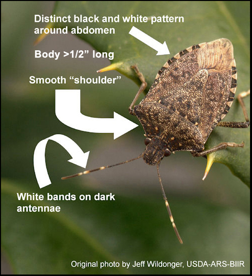Details about the brown marmorated stink bug.