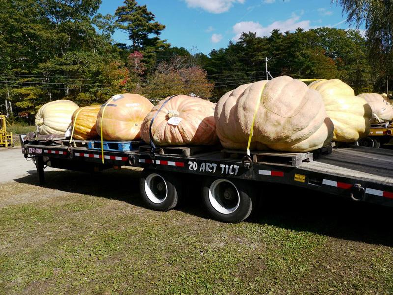 Atlantic Giant pumpkins