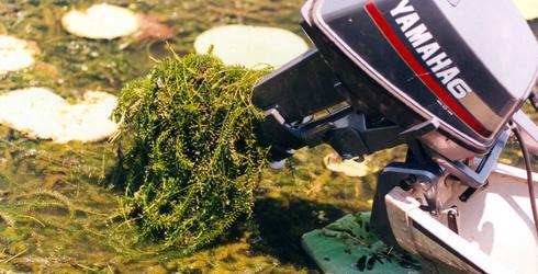 Hydrilla gets tangled in boat motors.