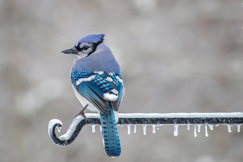 Stacy Bettencourt's photo of a blue jay received the most votes to become the first monthly winner of the 2018 #LCNme365 photo contest. Bettencourt will receive a $50 gift certificate to Sea Smoke Shop, of Damariscotta, the sponsor of the January contest.
