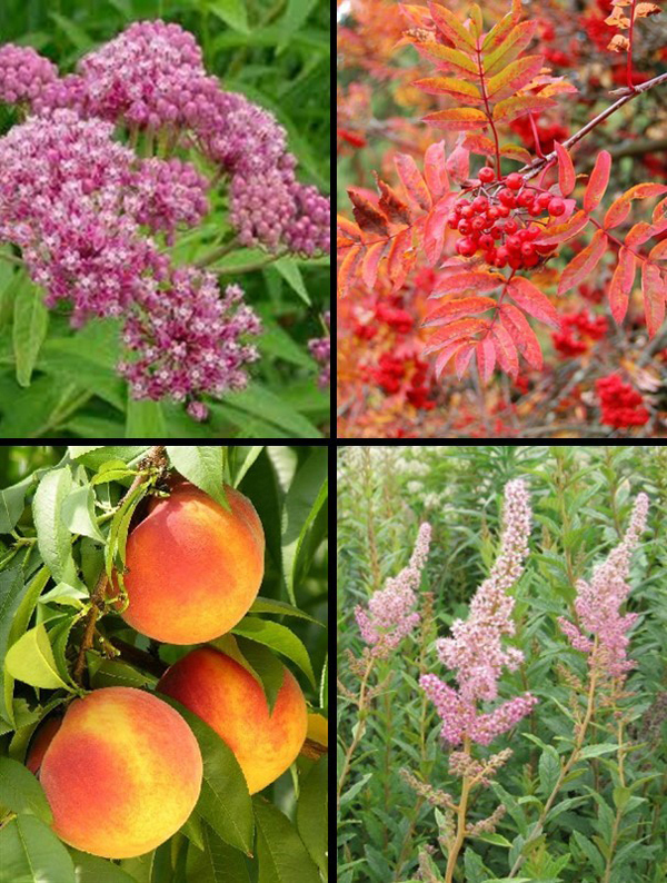 Clockwise from upper left: Swamp milkweed (Asclepias incarnata) for monarch caterpillars, showy mountainash (Sorbus decora), steeplebush (Spiraea tomentosa), and Reliance peach, possibly the most cold-hardy peach ever.