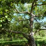 Apple Tree Pruning Workshop is March 31