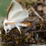Browntail Moth is Focus of Apr. 12 Skidompha Chat