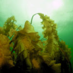 Bigelow Laboratory, UMaine Launch Gulf of Maine Kelp Study