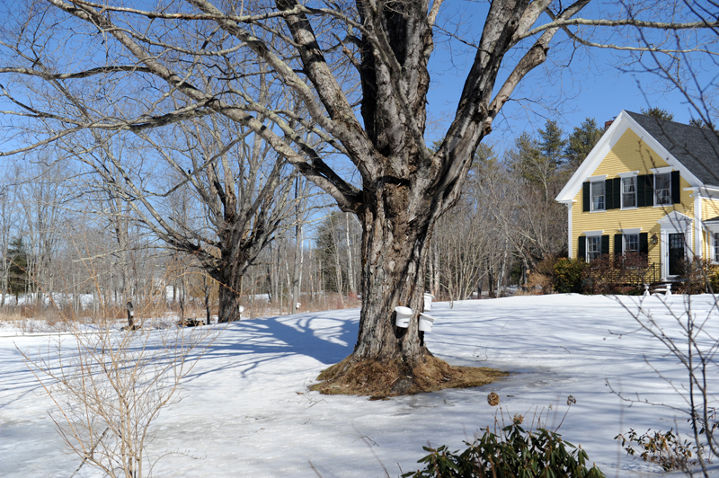 Sap buckets hang in Walpole. Maine Maple Sunday is March 25.