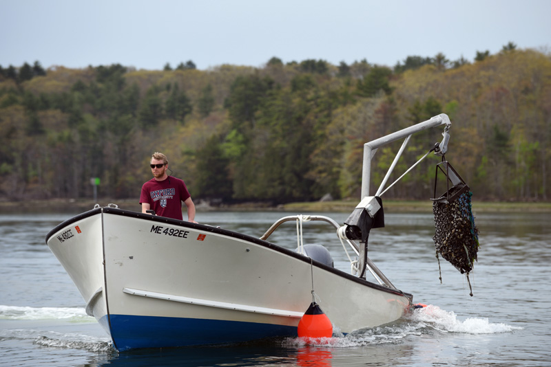 Evan Court harvests oysters for Dodge Cove Marine Farm and Muscongus Bay Aquaculture on the Damariscotta River on Thursday, May 17. (Jessica Picard photo)