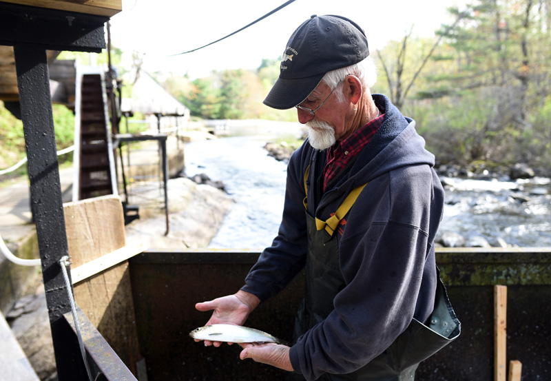 J.B. Smith, who has been harvesting alewives in Damariscotta Mills for five or six years, inspects an alewife Monday, May 14. (Jessica Picard photo)