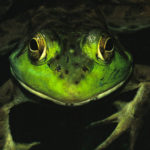 Find Frogs by Flashlight with DRA