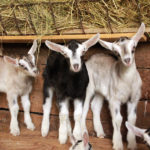Spring Fest and Baby Goats at Pumpkin Vine Family Farm